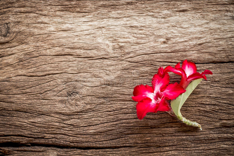 Azalea flowers on texture of bark wood use as natural background.  royalty free stock photography
