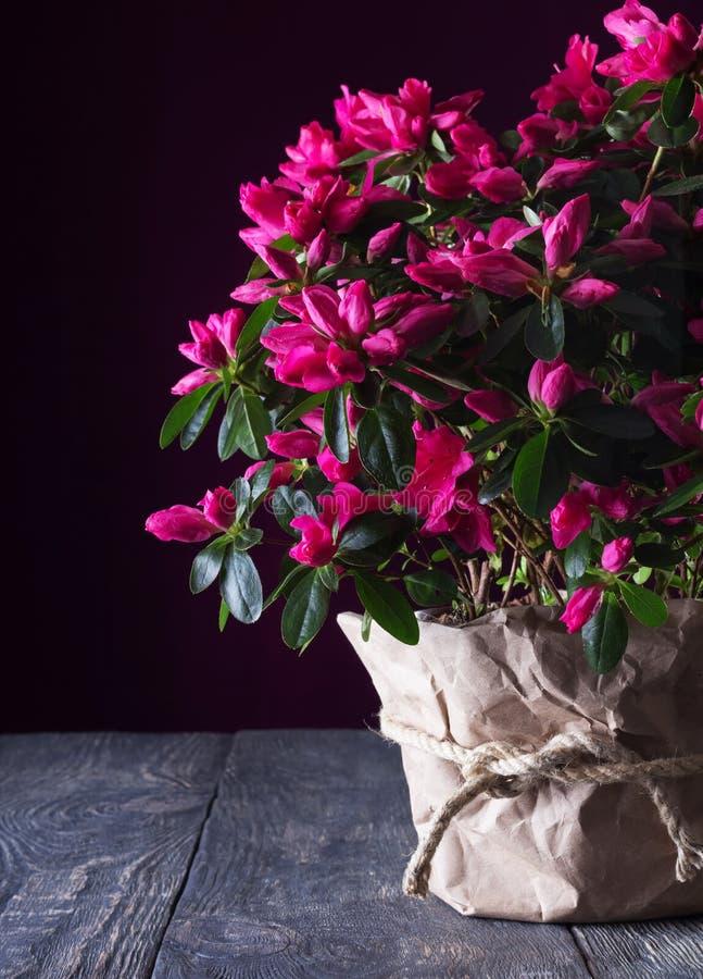 Azalea fragante enorme de la flor en un pote en fondo oscuro en los tableros imágenes de archivo libres de regalías