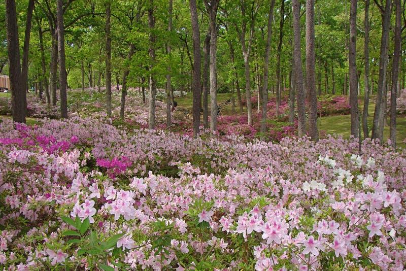 Northwest Louisiana azalea gardens in full bloom royalty free stock images