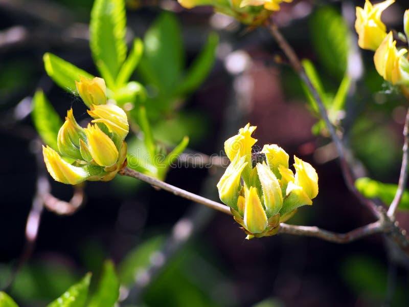 Azalea gele knoppen stock afbeeldingen