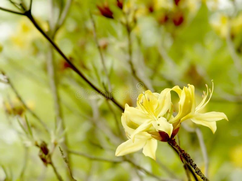 Azalea gialla nel giardino botanico immagini stock libere da diritti