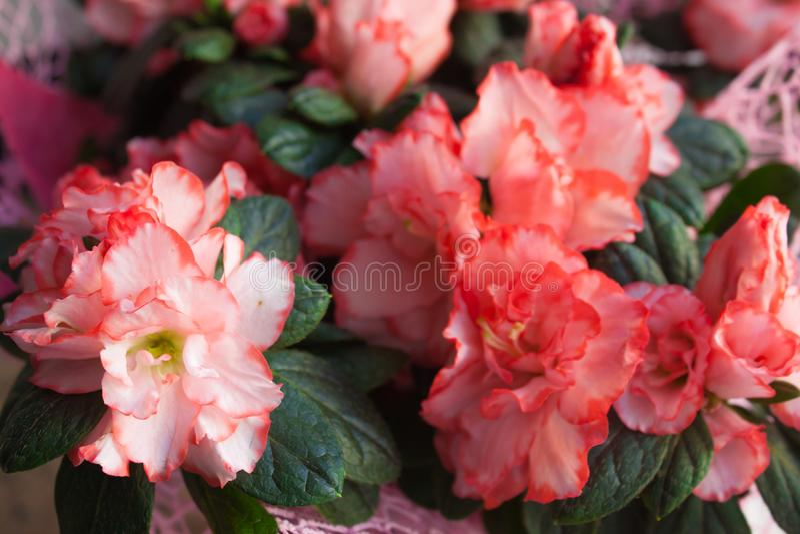 Azalea interior del rosa de Terry imagenes de archivo