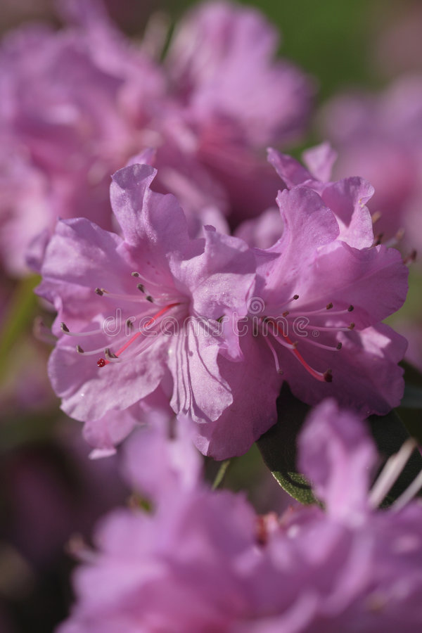 azalea kwiat obrazy stock