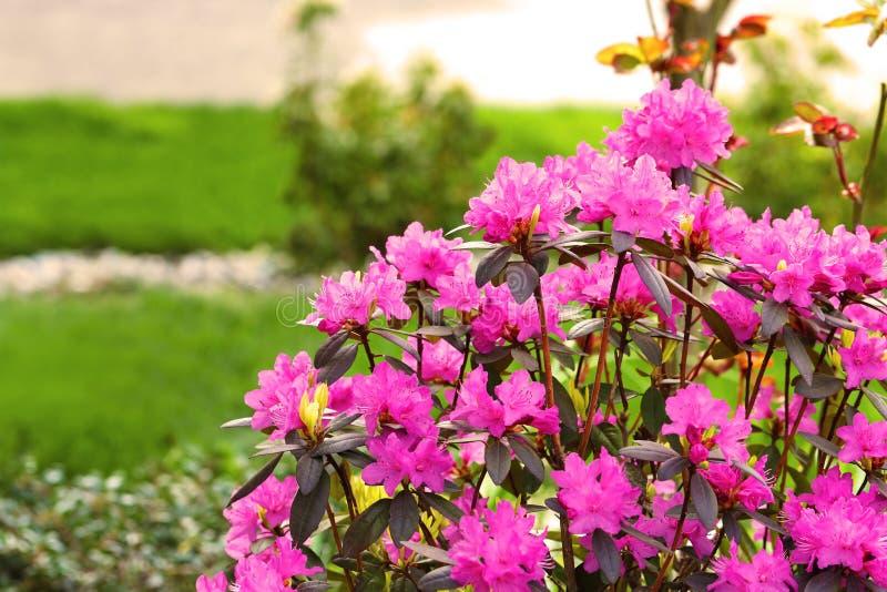 Azalea, membro degli arbusti da fiore del genere rododendro fotografia stock