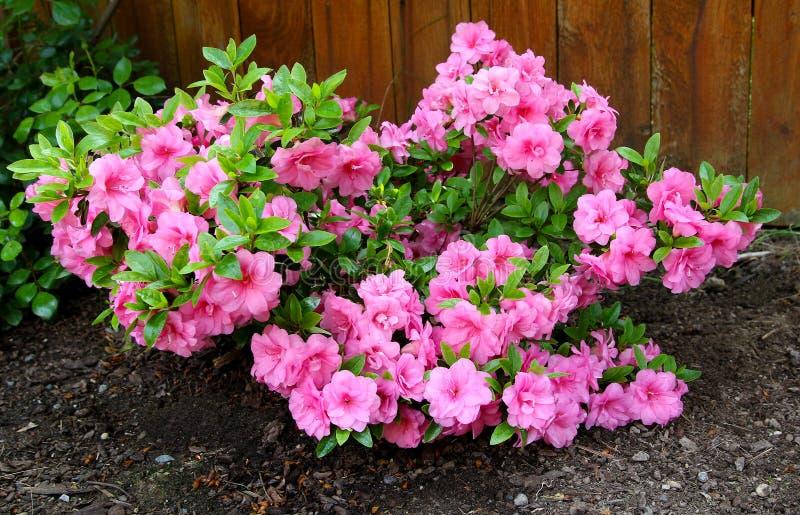 Azalea, membro degli arbusti da fiore del genere rododendro fotografia stock libera da diritti