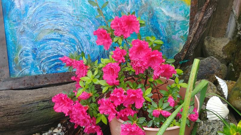 Azalea. On My Patio royalty free stock image