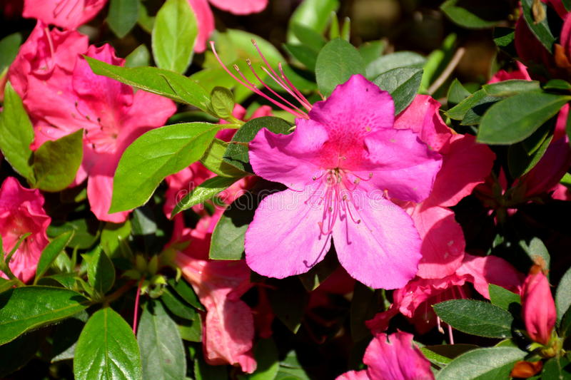 Azalea Pink Flowers stock images