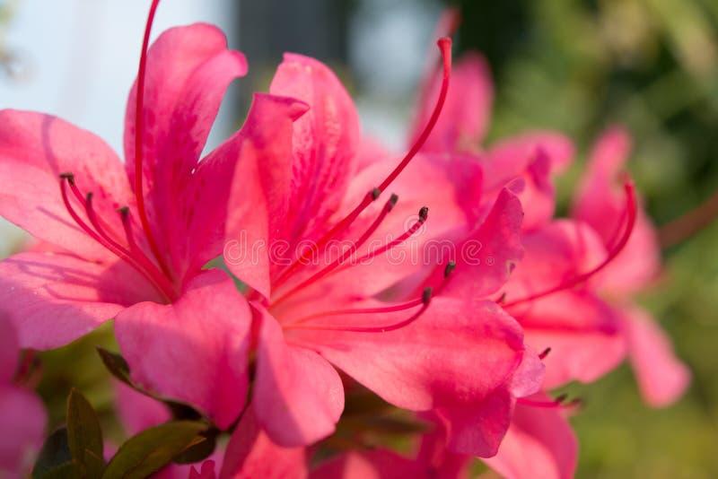 Azalea pink stock photos