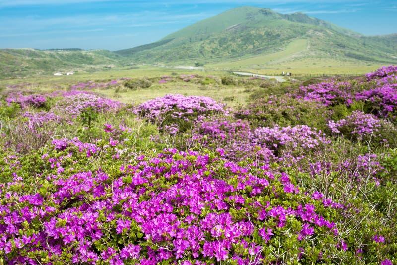 Azalea in plateau stock photo