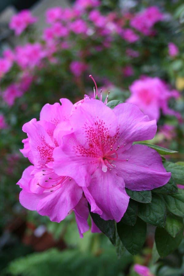 Azalea rhododendron stock photos