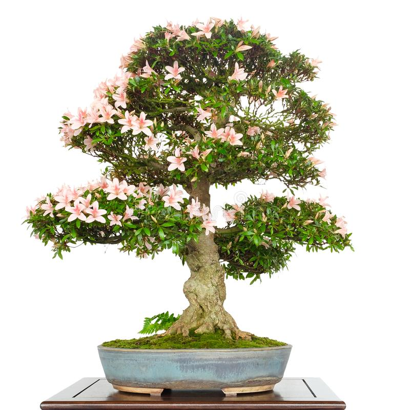 Azalea Rhododendron as bonsai tree with pink flowers royalty free stock photo