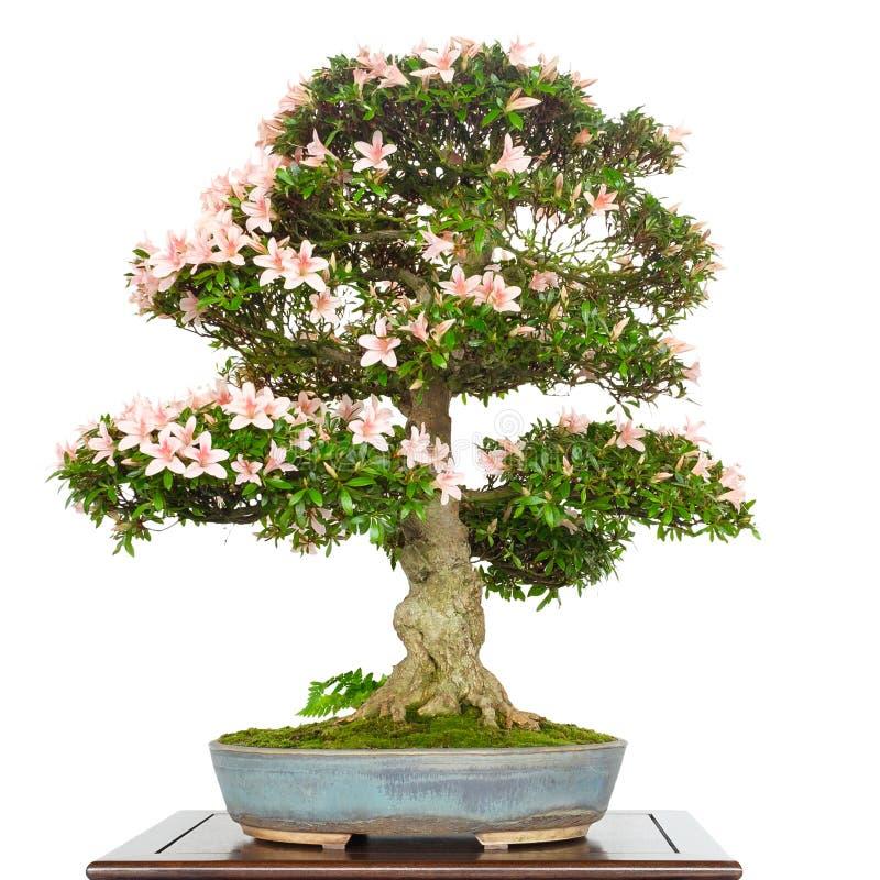 Azalea Rhododendron como árbol de los bonsais con las flores rosadas foto de archivo libre de regalías