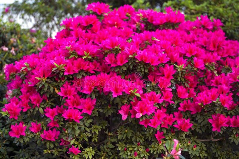 Azalea rhododendron flowers in the garden stock photo image of download azalea rhododendron flowers in the garden stock photo image of flowers decorative mightylinksfo