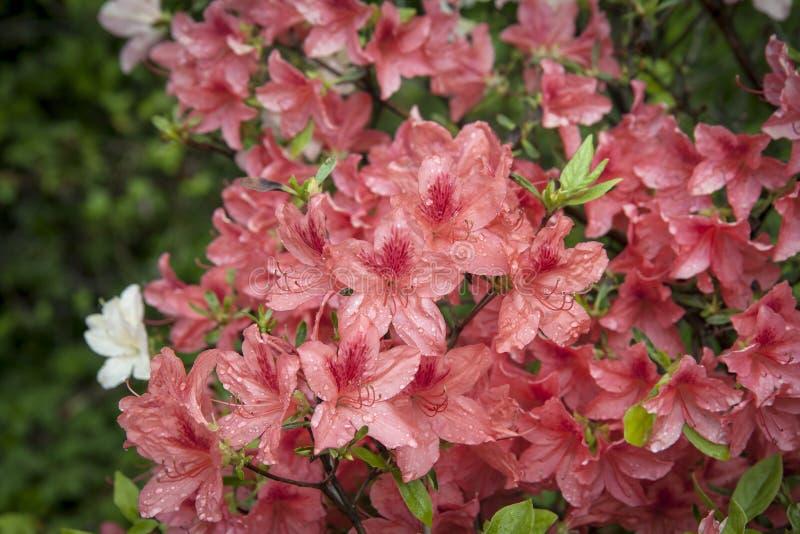 Azalea roja Arbusto del rododendro en jard?n Flores hermosas fotografía de archivo libre de regalías