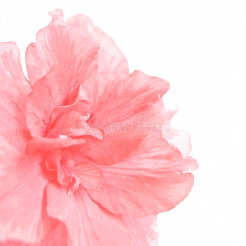 Azalea rosada fotografía de archivo libre de regalías