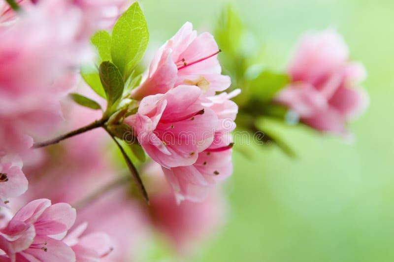 Azalea rosada en la floración fotos de archivo libres de regalías
