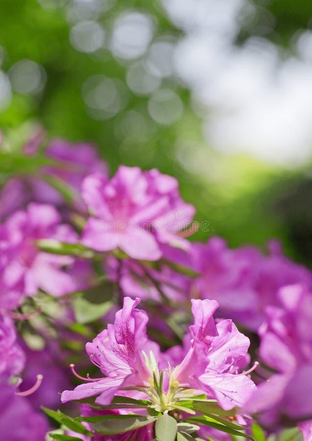 azalea's royalty-vrije stock foto's