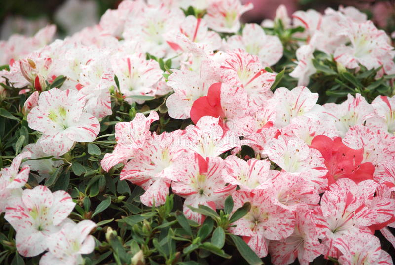 azalea's stock foto