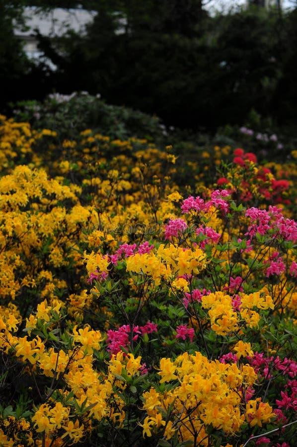 Azalea's bij Botalical-Tuin royalty-vrije stock foto's