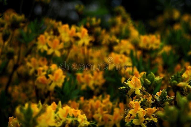Azalea's bij Botalical-Tuin royalty-vrije stock foto