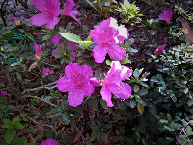 Azalea's in bloei, Februari, Florida stock afbeeldingen