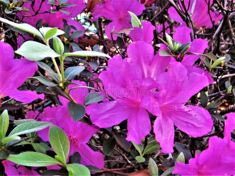 Azalea's in bloei, Februari, Florida royalty-vrije stock foto's