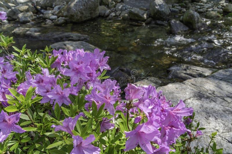 Azalea'sbloemen stock afbeeldingen
