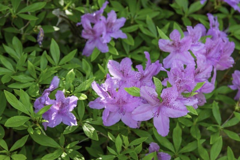 Azalea'sbloemen stock afbeelding