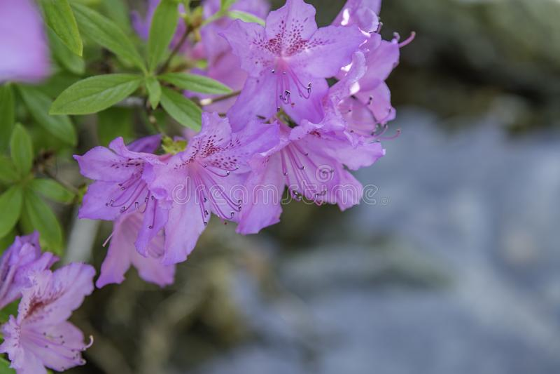 Azalea'sbloemen royalty-vrije stock fotografie