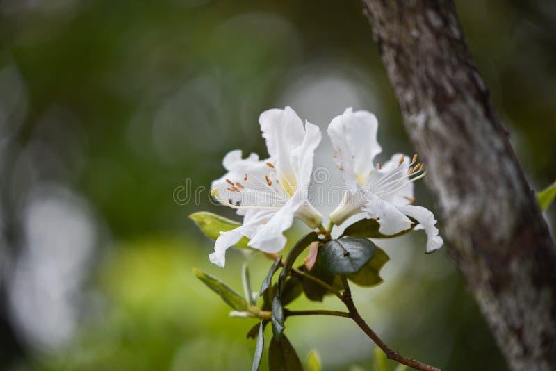 Azalea White stock fotografie