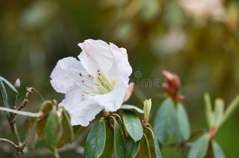 Azalea White royalty-vrije stock foto's