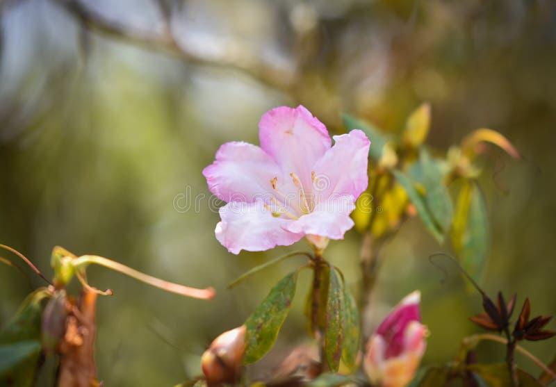 Azalea White-Pink royalty-vrije stock foto's