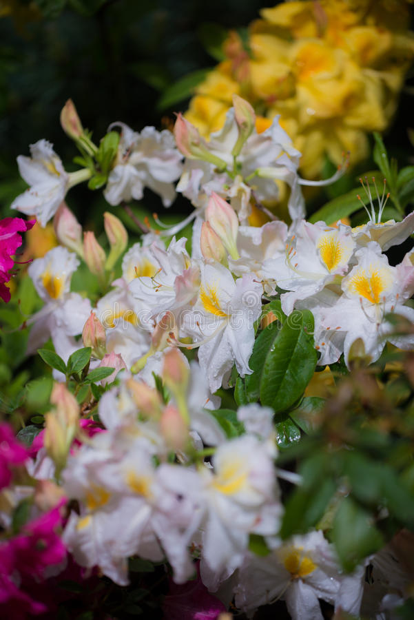 Download Azalea stock photo. Image of drops, rhododendron, nature - 83715762