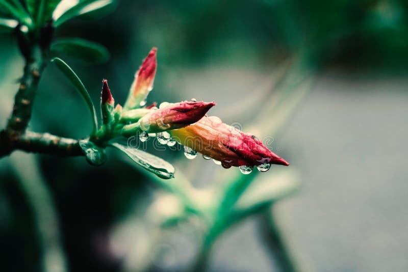 Azaleabloemen na regen royalty-vrije stock foto's