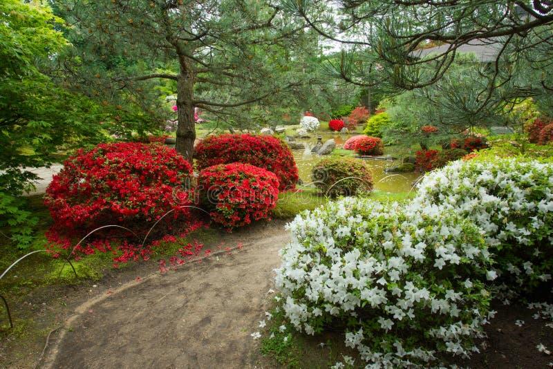 Azaleabloesem in Japanse tuin Potsdam, Duitsland stock foto