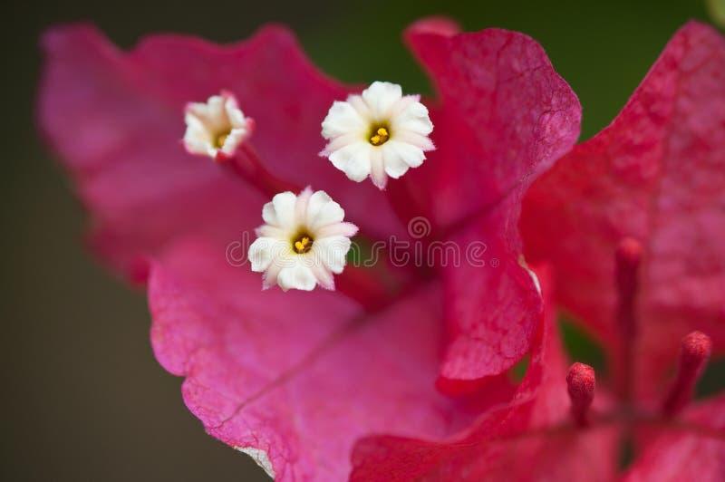 Azaleas royalty free stock photography