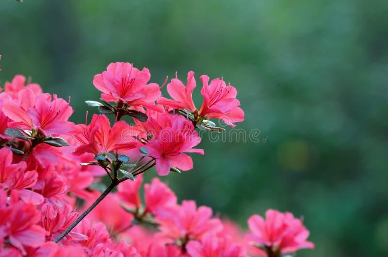 azaleas arkivfoto