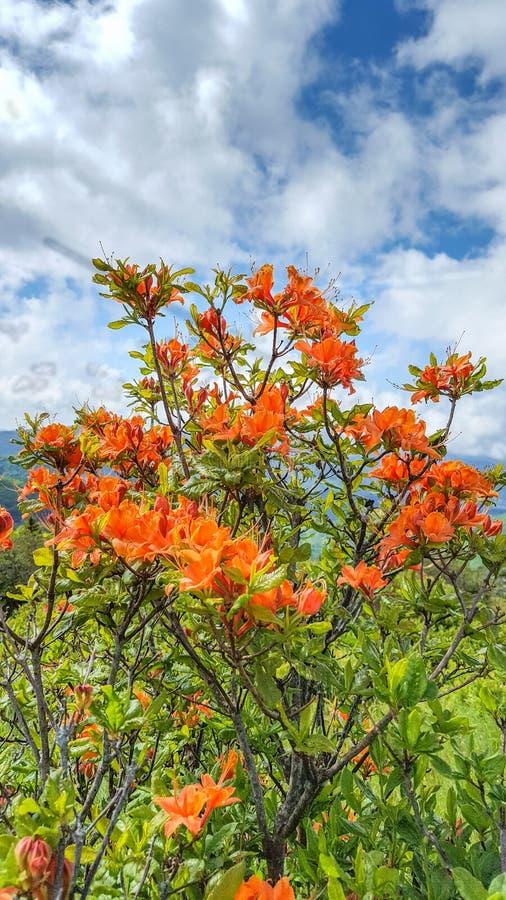 Azaleas anaranjadas Carolina del Norte de la llama fotos de archivo