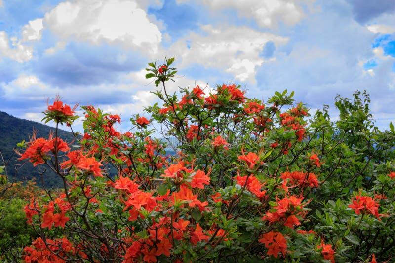 Azaleas anaranjadas de la llama imágenes de archivo libres de regalías