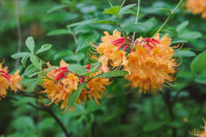 Azaleas anaranjadas en el bosque fotos de archivo