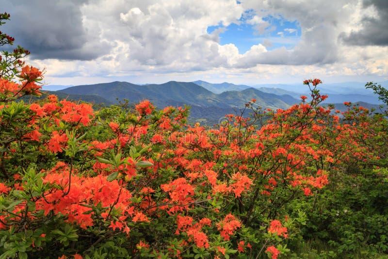 Azaleas anaranjadas Roan Mountain NC TN de la llama fotografía de archivo libre de regalías