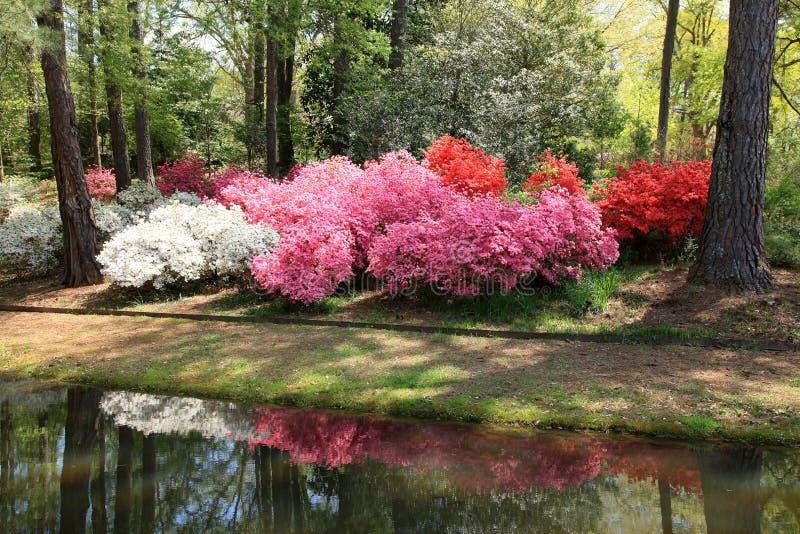 Download Azaleas At Callaway Gardens Stock Photo   Image Of Garden,  Landscapes: 39787786