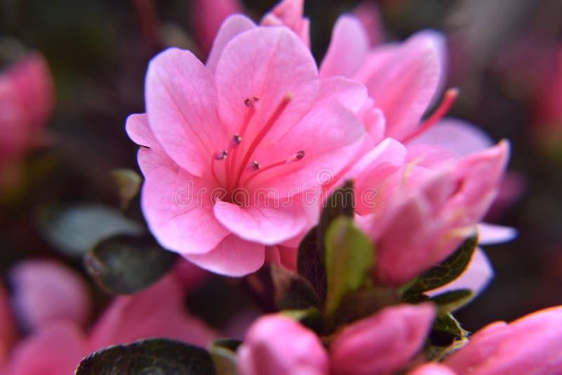 Azaleas en la floración imágenes de archivo libres de regalías