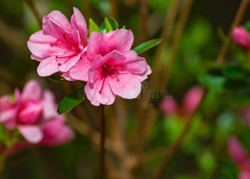 Azaleas rosadas de florecimiento en un parque de la montaña - 2 fotos de archivo libres de regalías
