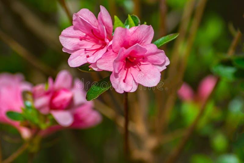 Azaleas rosadas de florecimiento en un parque de la montaña fotografía de archivo libre de regalías