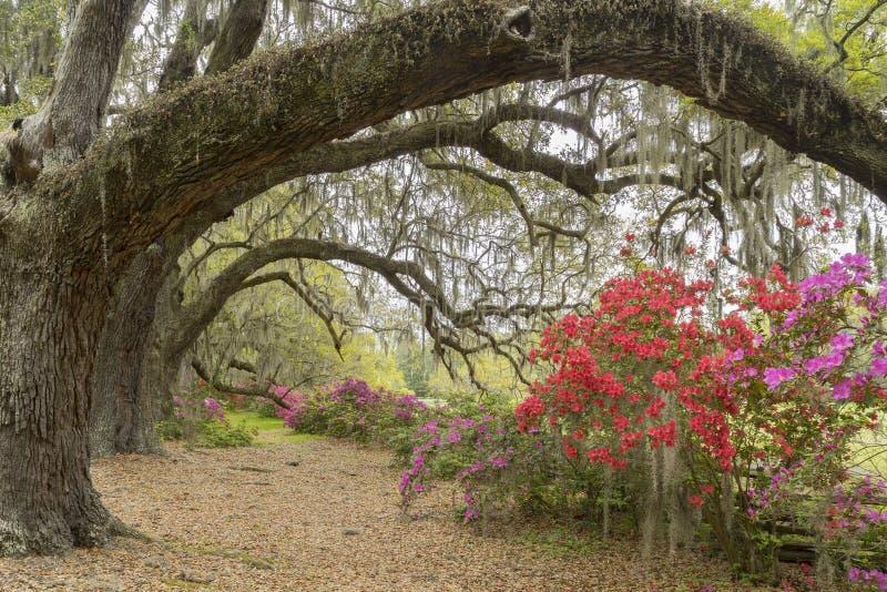 Azaleas in Spring Bloom Beneath Live Oaks Near Charleston, SC. On a plantation in the South Carolina lowcountry, near Charleston, colorful azalea bushes bloom stock photography