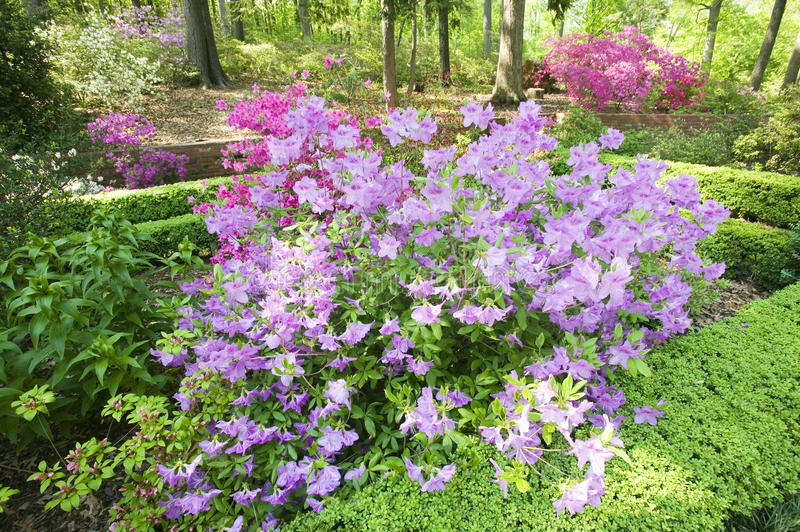 Azaleas in spring in National Arboretum, Washington D.C. royalty free stock photo