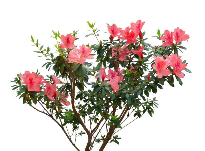 Azalee, die auf Baum blüht lizenzfreie stockfotografie