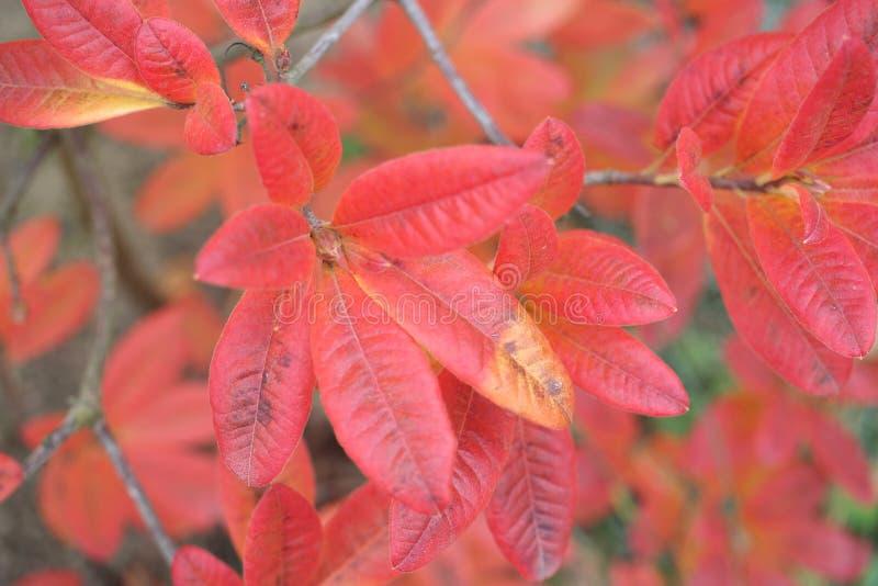 Azalee verlässt im Herbst stockbild