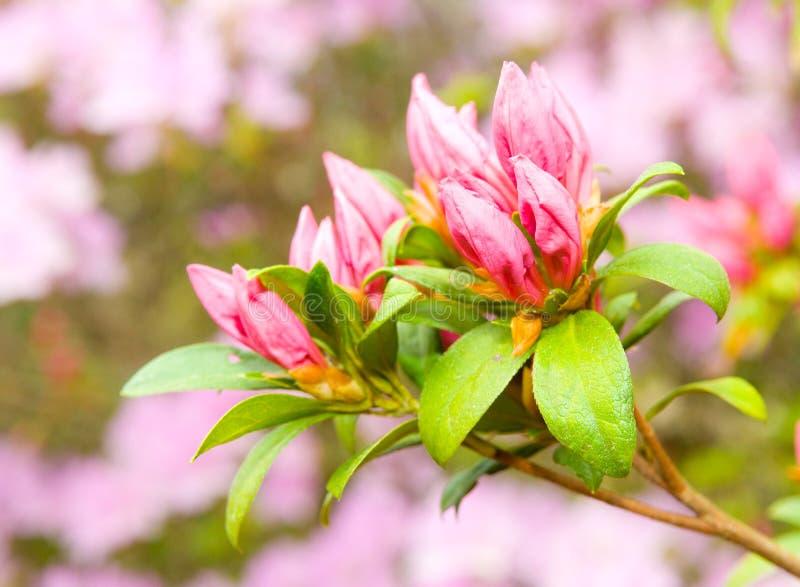 Azaleeblüte im Frühjahr lizenzfreie stockfotografie